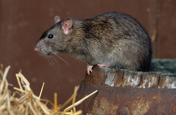 rodent and rat extermination